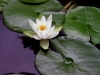 Lotus Lillies