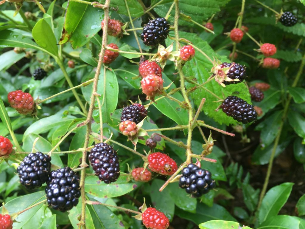Organic Wild Blackberries