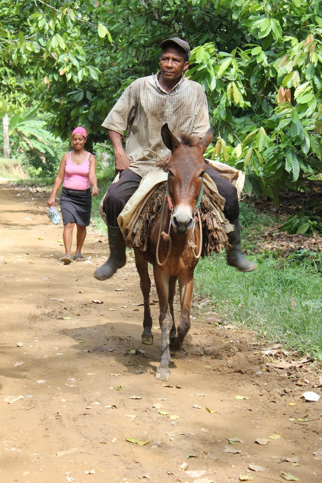 Mules bringing cacao