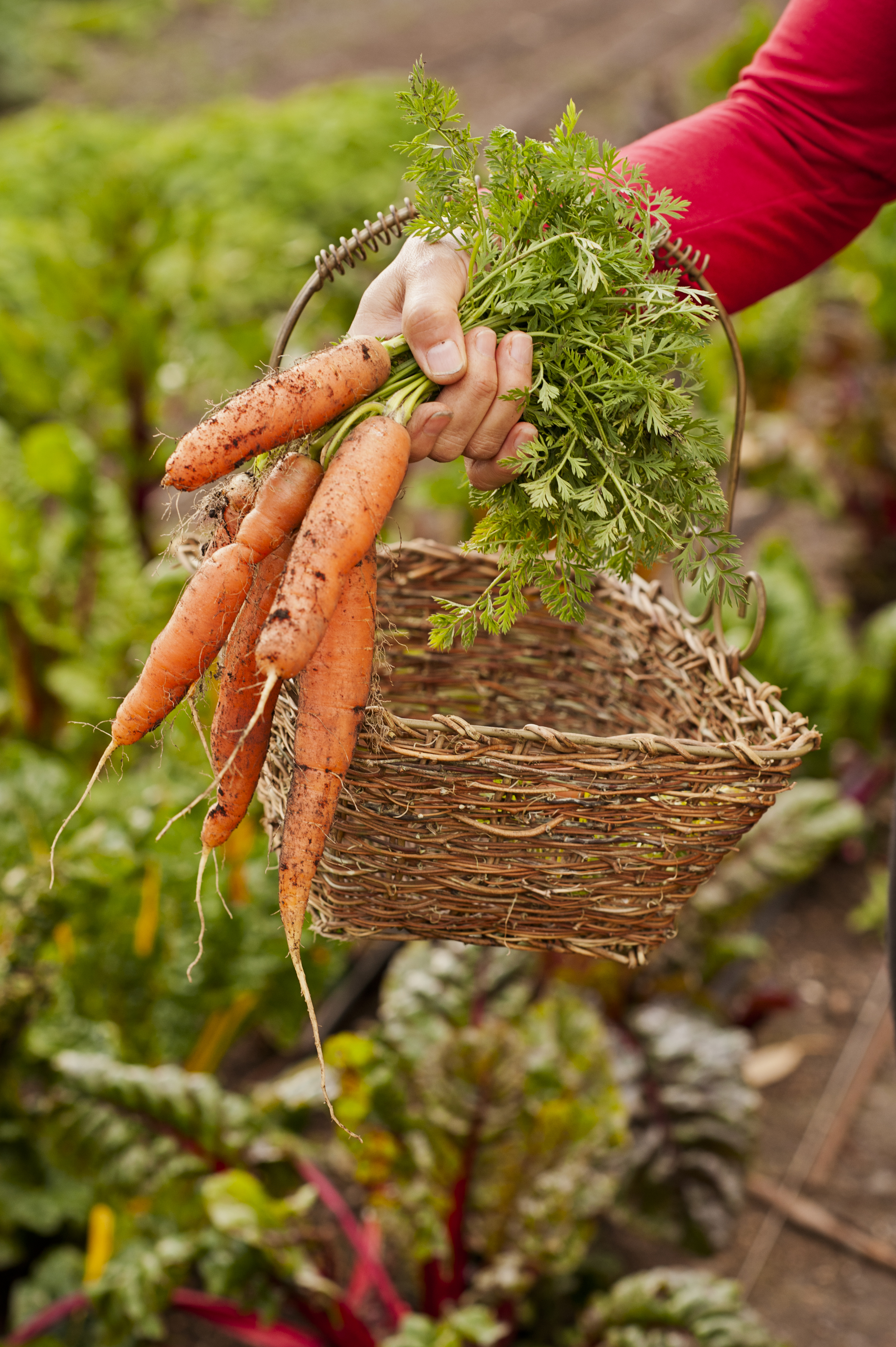 Nutritious and Delcious Fresh Picked Sweet Organic Carrots