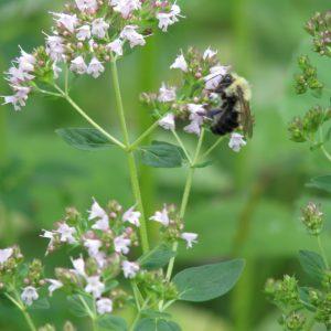 Bee on Flowering Marjoram in Leslie's Organic Herb Garden