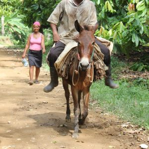 Burros are used to bring the cacao pods back to the farm on narrow trails