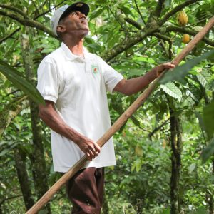 Got to be in great shape to reach and cut the ripe cacao pod off the tree