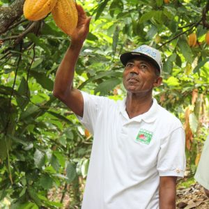 Oscar reaches for ripe cacao pods at the cacao farm in Dominican Republic