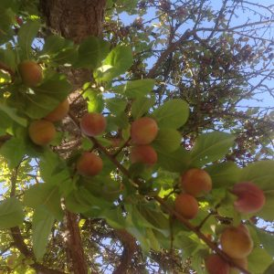 Luscious Plums ripe in the organic orchard at Los Lobos Lodge in Chile, January, 2014