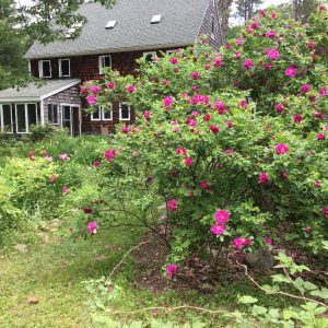 Lush, sweet scented, organic roses
