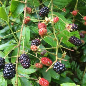Organic Wild Blackberries