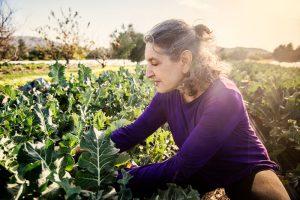 picking organic broccoli in the garden